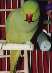 Sindhi parrot (pic from Wikipedia)